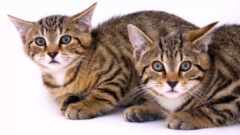 家貓哪有野貓香:瑞士野貓因為太帥可能瀕臨滅種