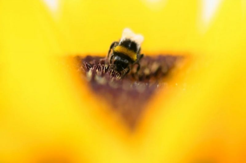 日本新發現的攻擊型黃蜂被命名為「哥吉拉」